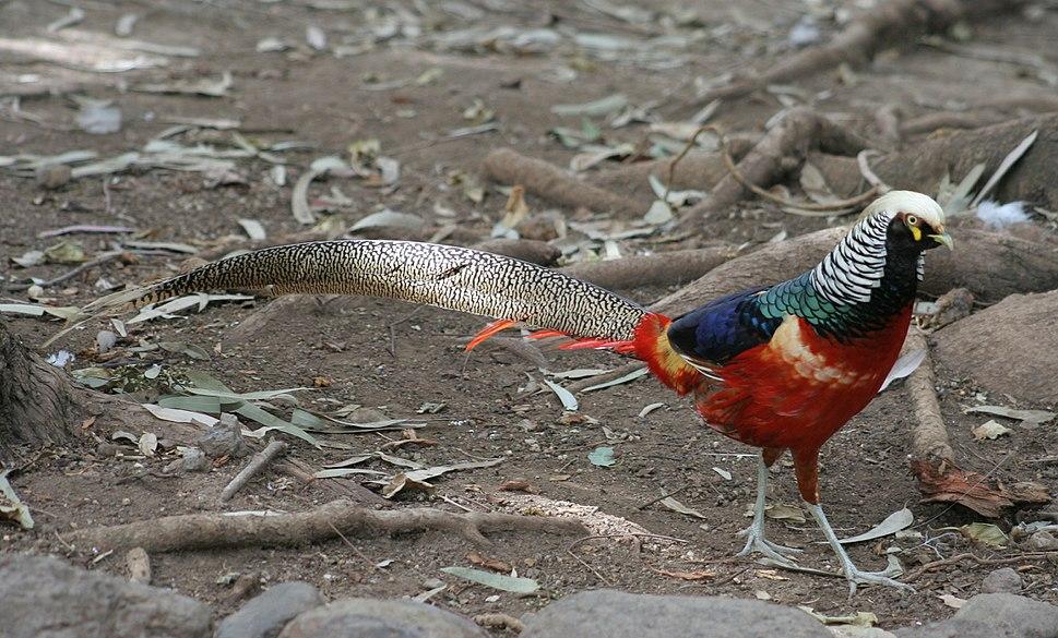 Exotic Pheasant (400938368)