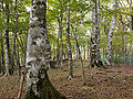 Fagus japonica 01-2.jpg