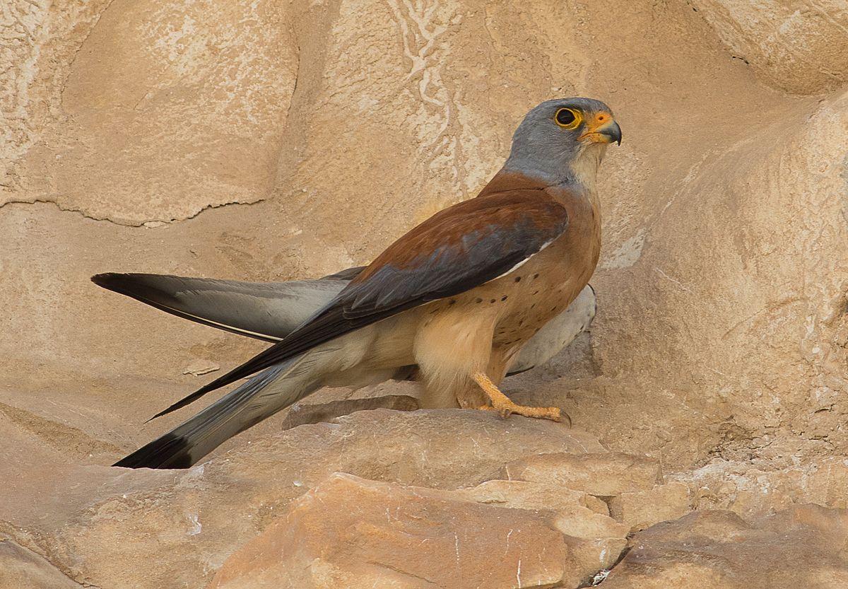 Falco naumanni, Israel 02.jpg