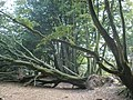 Fallen tree, near Lewesdon Hill - geograph.org.uk - 971526.jpg