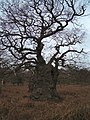 Fantastically Twisted Oak in Staverton Park - geograph.org.uk - 66488.jpg