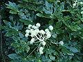 Fatsia japonica0.jpg