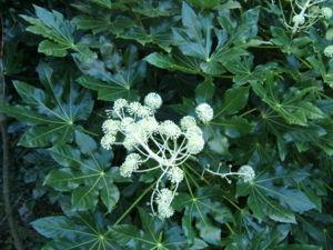 Gelappte Blätter und zusammengesetzter Blütenstand der Zimmeraralie