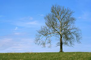 Fayette County, Kentucky - Sycamore tree in Fayette County, Kentucky
