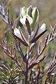 Federally endangered Salt Marsh Birds Beak (Cordylanthus maritimus maritimus) (6555200173).jpg