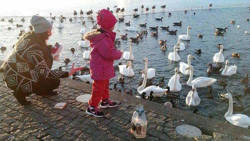 File:Feeding Time, Reykjavik, Iceland.jpg