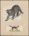 Felis pajeros - 1700-1880 - Print - Iconographia Zoologica - Special Collections University of Amsterdam - UBA01 IZ22100336.tif