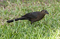 Female Great-tailed Grackle 2 (4385127406).jpg