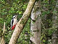 Female Great Spotted Woodpecker on shore of Spynie Loch - geograph.org.uk - 1273449.jpg