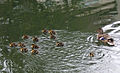 Female Mallard with 12 ducklings (Grand Canal, Dublin).jpg
