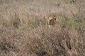 Female Panthera leo in the wild.jpg
