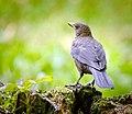 Female blackbird (19738281942).jpg