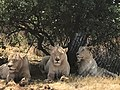 Female lions dozing.jpg