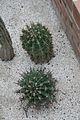 Ferocactus Herreae & Mexico (1) (11982990605).jpg