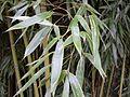 Feuillage de bambou bamboo leaf VAN DEN HENDE ALAIN CC BY SA 40 03 BG PDP -1445102995n45.jpg