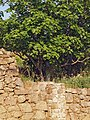 Ficus-carica - bancal 20110416a.jpg