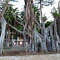 Ficus Macrophylla, Icod de Los Vinos, Tenerife, Canary Islands, Spain - panoramio.jpg