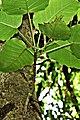 Ficus arnottiana Fruits കല്ലരയാൽ.jpg