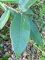 Ficus drupacea, Mysore Fig, Brown woolly fig, ചെലാ Chela 3.jpg