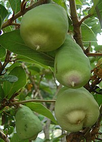 Ficus pumila fruits (RaeA)