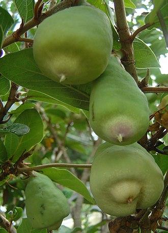 Ficus pumila - Image: Ficus pumila fruits (Rae A)