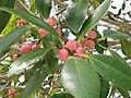 Ficusmicrocarpa40091720271 94c6305c2c o.jpg