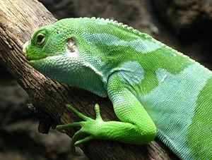 Fiji banded iguana - Close-up of a male Fiji banded iguana.