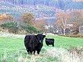 Fine black Highlands, near Torroy - geograph.org.uk - 605963.jpg