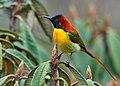 Fire-tailed-Sunbird-Singalila.jpg