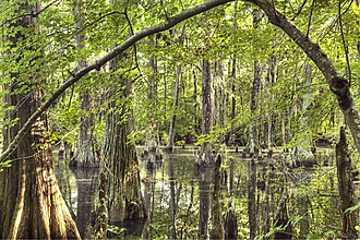 First Landing State Park - Cypress swamp at First Landing State Park