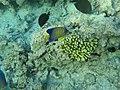 Fische und Korallen - panoramio.jpg