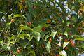 Flame-fronted Barbet - Bot.Gardens Bedugul - Bali S4E3260 (29729432801).jpg