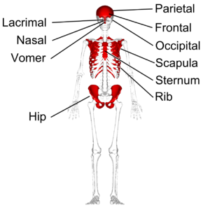 Flat bone - Flat bones in human skeleton. (shown in red)