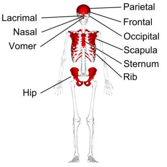 Flat bone - Flat bones in human skeleton. (shown in red)