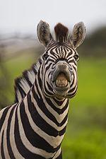 Flehmen, Equus quagga (Namutoni).jpg