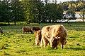 Flera skotska höglandsboskap.jpg