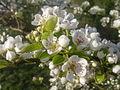 Fleurs de poirier à Grez-Doiceau 008.jpg