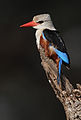 Flickr - Rainbirder - Grey-headed Kingfisher (Halcyon leucocephala) (1).jpg