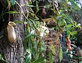 Flickr - brewbooks - Nepenthes - Tropical Centre (1).jpg