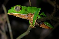 Flickr - ggallice - Monkey treefrog.jpg