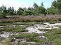 Flint, heather and pine, Ideford Common - geograph.org.uk - 1371477.jpg