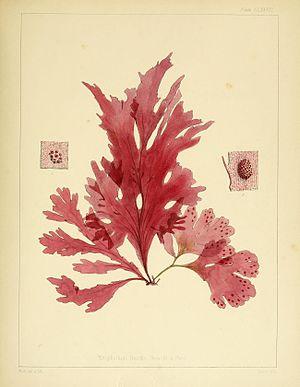 Flora Antarctica - Image: Flora Antarctica Nitophyllum smithi