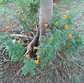 Flora Indonesia 002-MPA.jpg