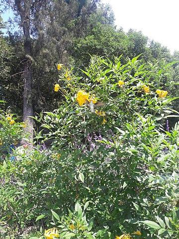 File:Flores amarillas, Festival de Flores y Jardines, Chapultepec ...