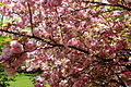 Flowering-pink-tree-grass - West Virginia - ForestWander.jpg