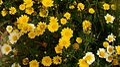 Flowers Leucanthemopsis alpina 07.jpg