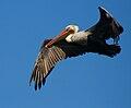 Flying Brown Pelican.JPG