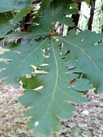 Foloi oak forest - Image: Folfor 3