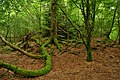 Forest near Dunstaffnage Castle - Scotland - panoramio.jpg