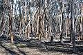 Forested area, Dryandra Woodland, Western Australia.jpg
